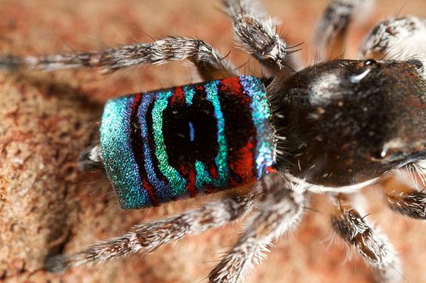 peacock-spider-jurgen-otto-9