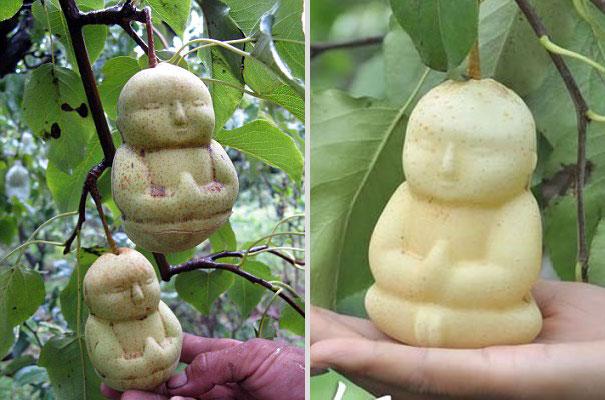 buddha-pear-2