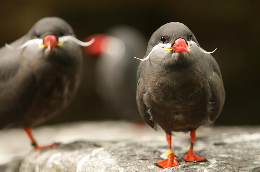 mustached-bird-1
