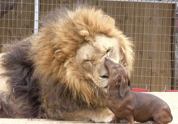 lion-and-dog-friendship-1