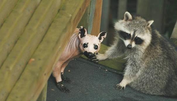 hairless-raccoon-1