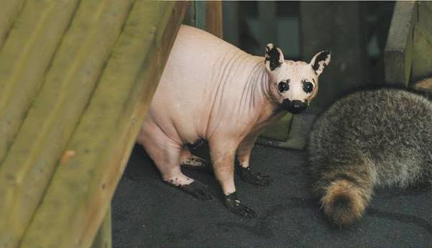 hairless-raccoon-2