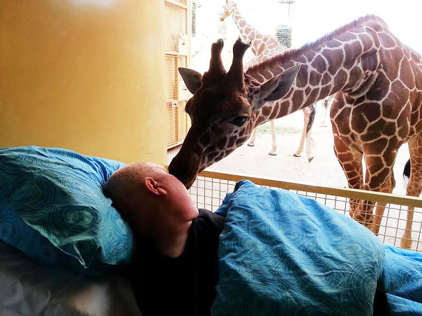 Final Farewell: Giraffe Giving A Lick To Dying Zoo Keeper