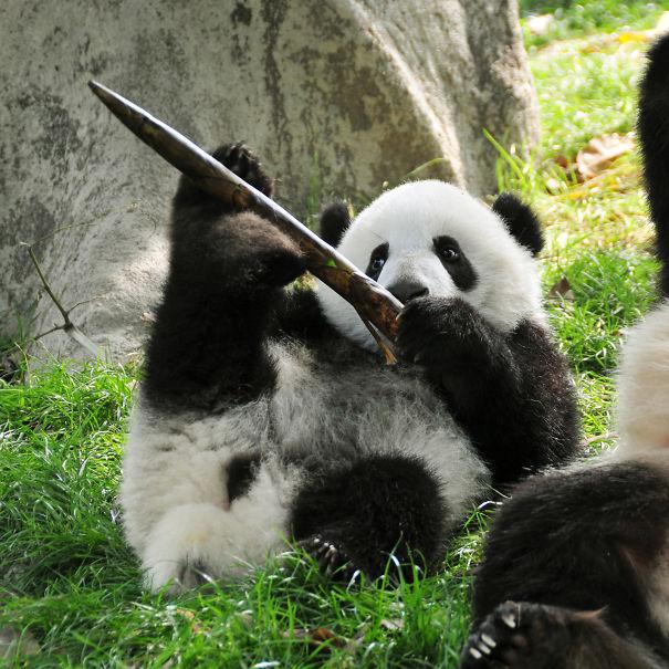 Bored Panda: 60 Cutest Panda Moments Ever Captured
