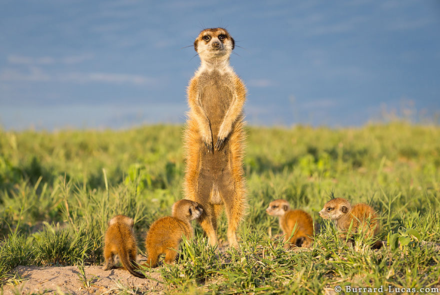 meerkats-human-lookout-post-photography-will-burrard-lucas-9