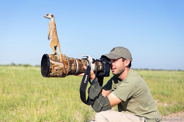 Photographer Became A Handy Lookout Post For Clever Meerkats