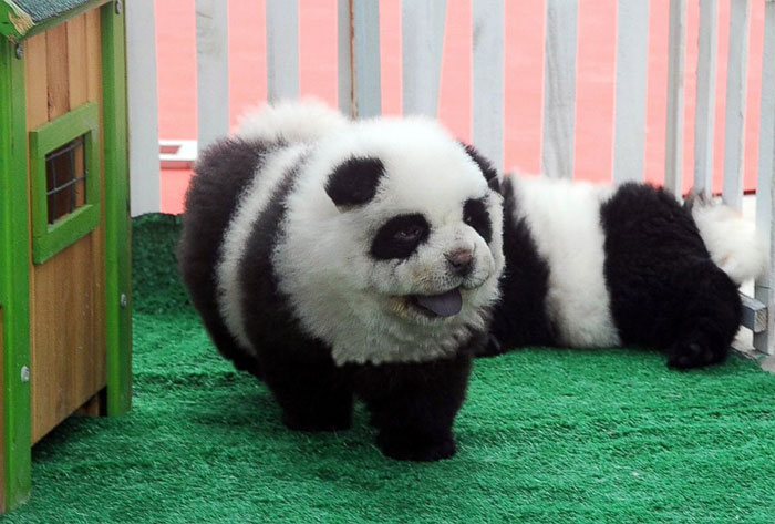these chow chows that look like pandas are the latest hit