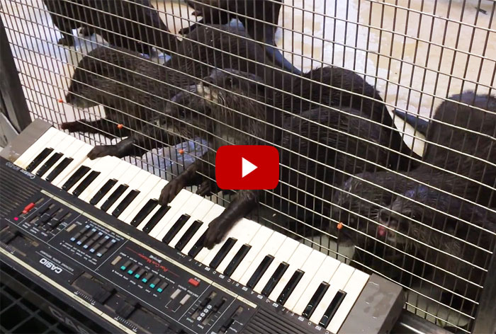 See What Happens When The U.S. National Zoo Gives Their Otters An Electric Keyboard