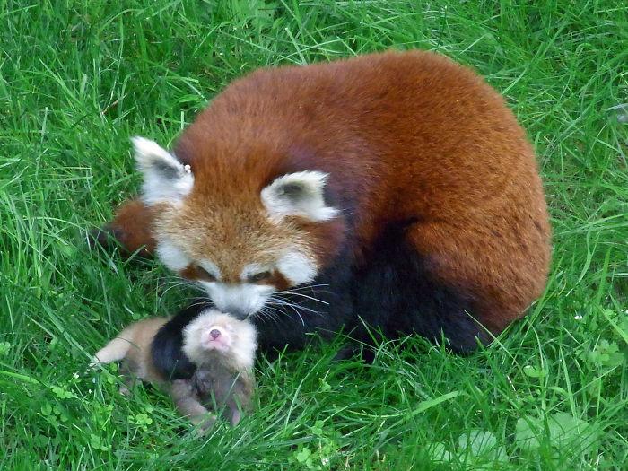 Red Panda At Dortmund Zoo