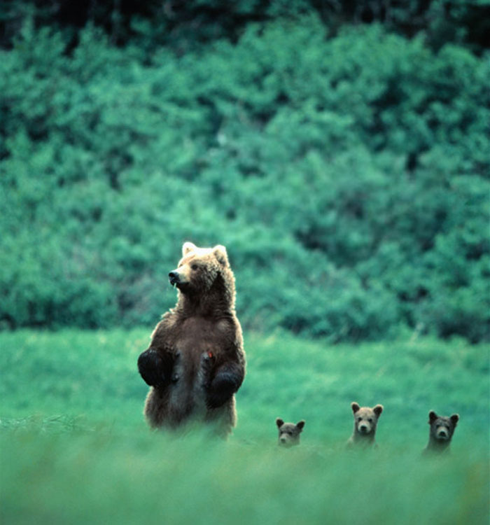 Brown Bear With Cubs (by Mikfik Creek)