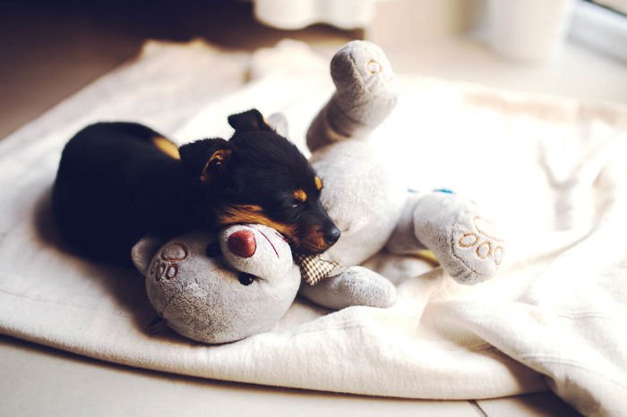 Sleeping Puppy With Her Teddy Bear