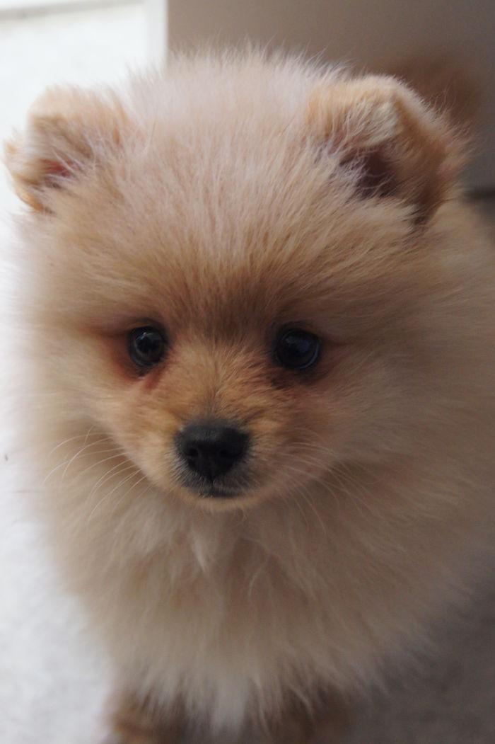 Voltti The Kleinspitz Puppy