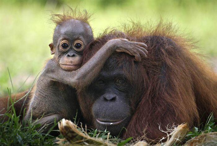 Lovely Orangutans