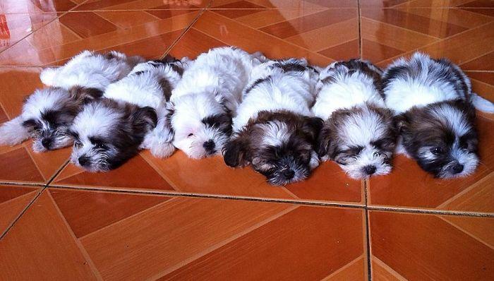 Our Shih Tzu Puppies - Cebu, Philippines
