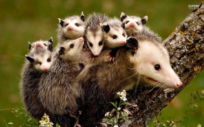 Possum Bandits