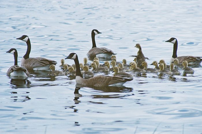 Family Of Geese At Horse Lake, 100 Mile House, Bc, Canada