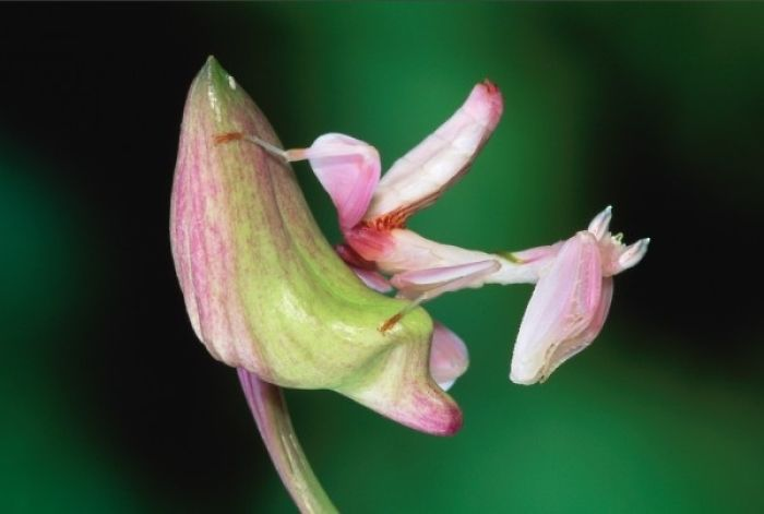 The Orchid Praying Mantis