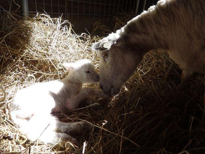 Mama Lamb And Baby.