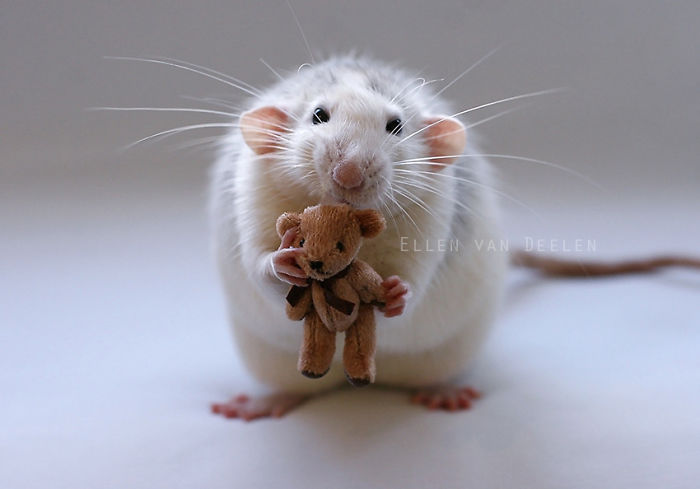 Rat With A Teddy