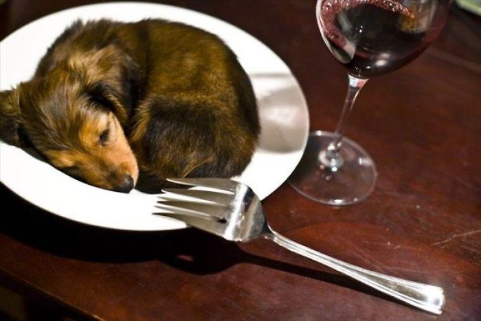 Dinner Dachshund