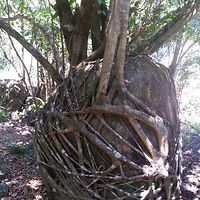Fig Tree Wrapped Around A 6 Foot Rock In Tully Gorge, Far North Queensland, Australia