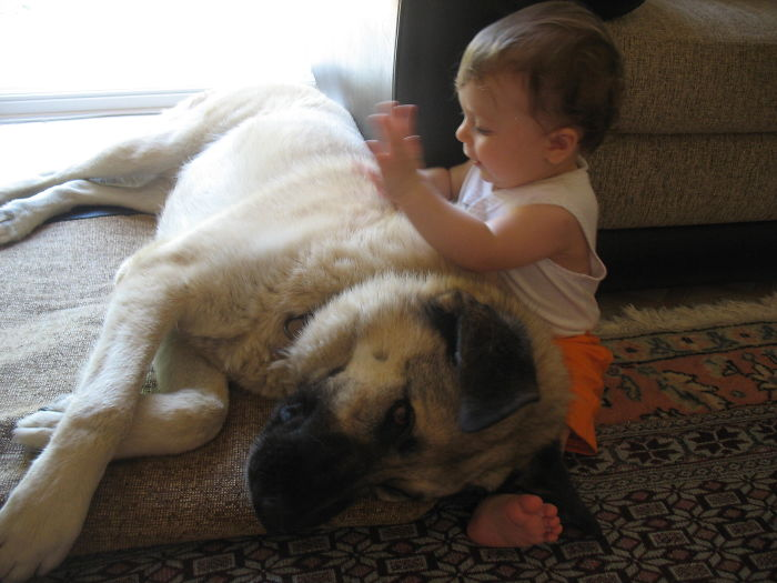 Simla And The Kangal Mix Frodo.