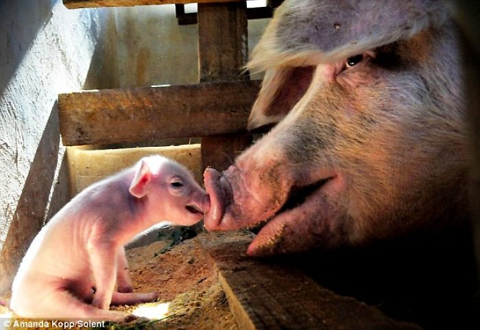 Mother Pig Supports Her Baby That Is Unable To Walk