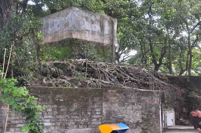 China Tree Roots