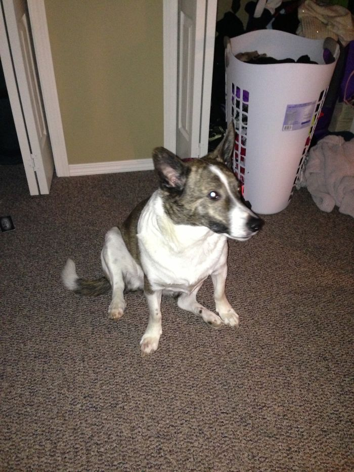 """cojack"" Corgi + Jack Russell Terrier (his Name Is Gremlin)"