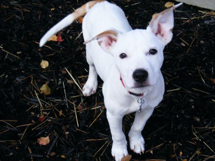 Pitbull + Lab = Beautiful Loving Dog (rescued From A Cardboard Box)