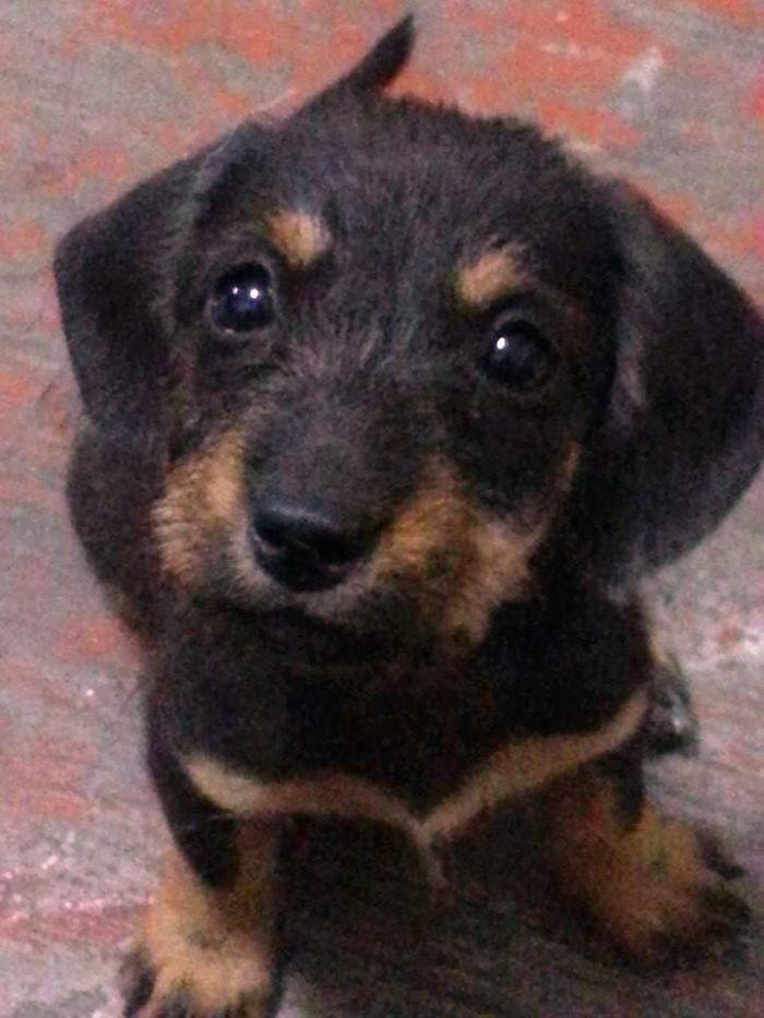 Meet Portia - A Dachshund + Shih Tzu Pup.