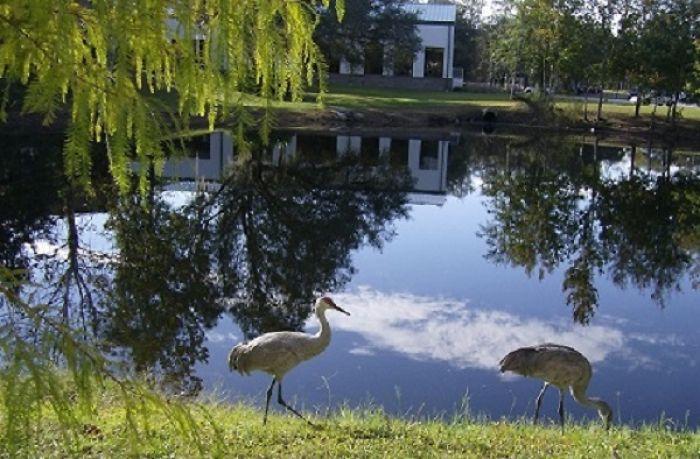 Sandhill Cranes At Pasco-hernando State College