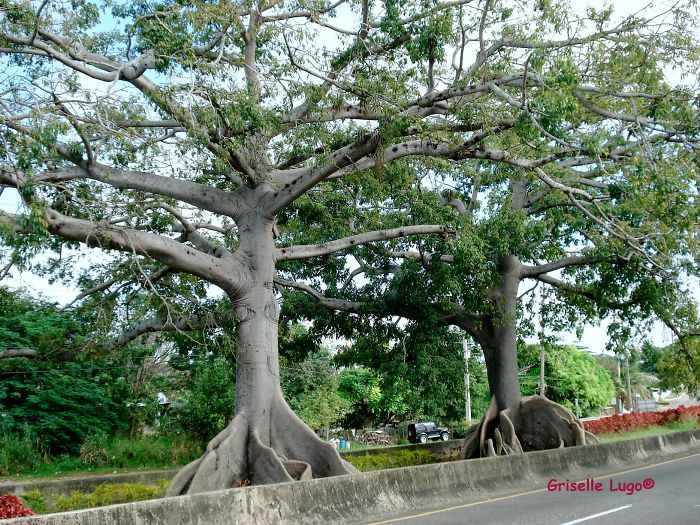 Ceiba Trees Said To Be 300 Years Old. Quebradillas, Puerto Rico