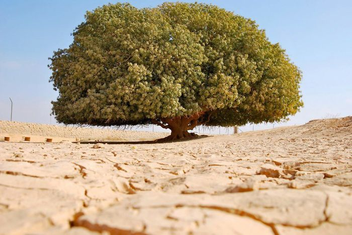 The Almost-1400-years Old (only) Tree In Middle Of An Inhospitable Desert In Jordan