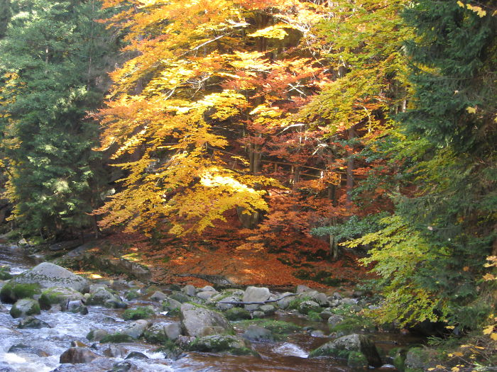 Common Beech Trees & Spruce In Poland,
