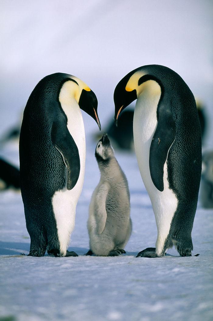Penguin Parents