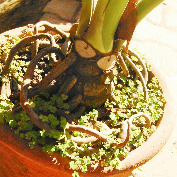 The Devil Plant