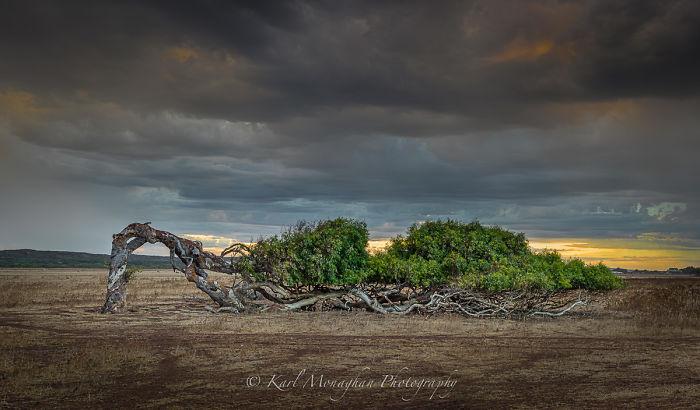 The Leaning Tree Greenough Western Australia