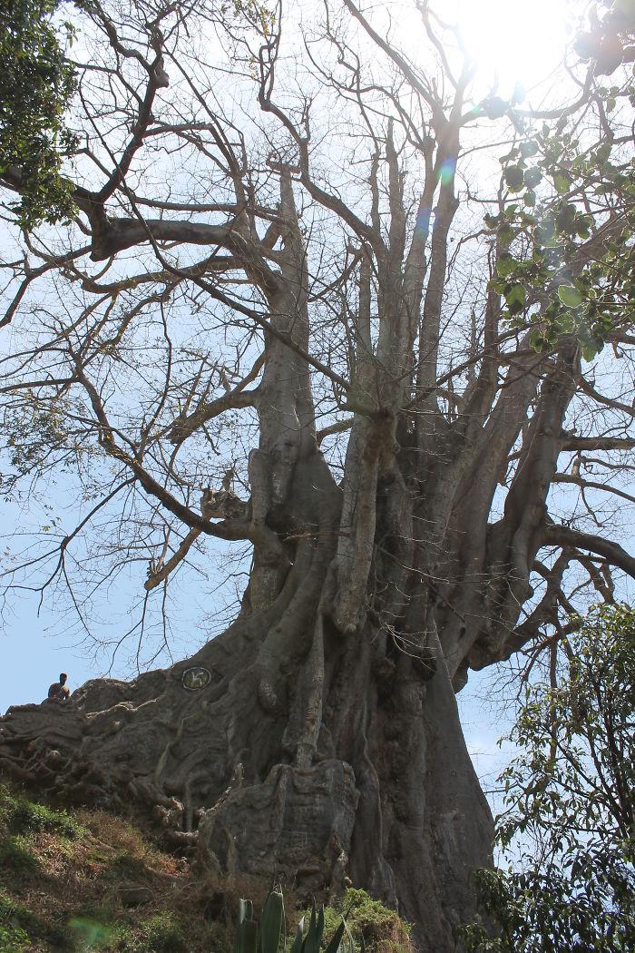 Giant Kapok Tree, Santiago, Cape Verde