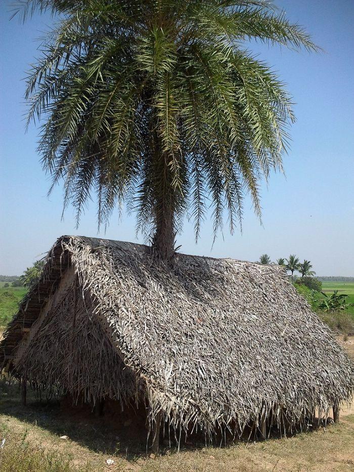 A Hut With Living Post, Mammundur, Tamilnadu, India.
