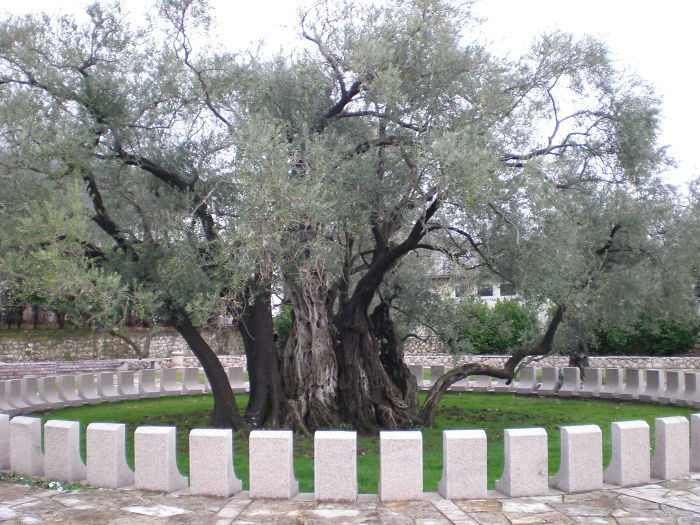 An Old Olive Tree In Bar, Montenegro, More Than 2000 Years Old