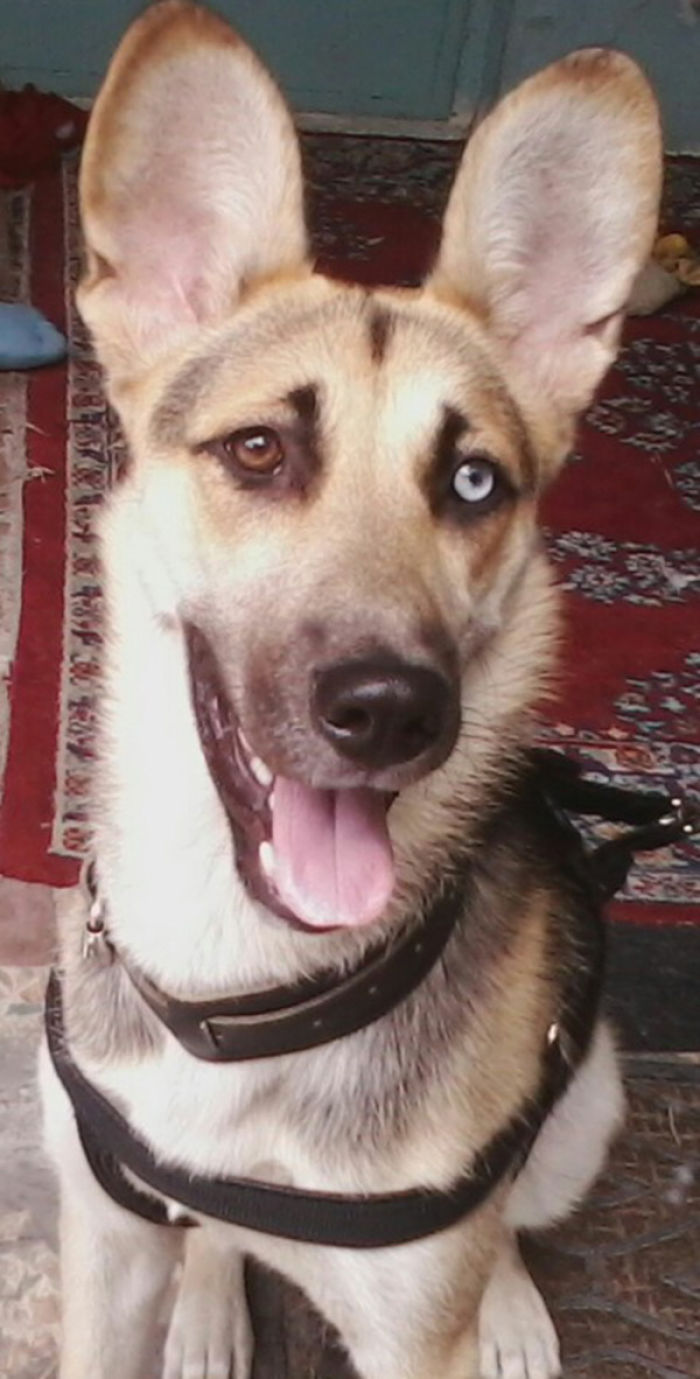 German Shepherd_husky Mixed