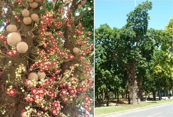 Cannon Ball Tree / Abricó De Macaco - Native To The Amazon, Rio De Janeiro Bot Garden