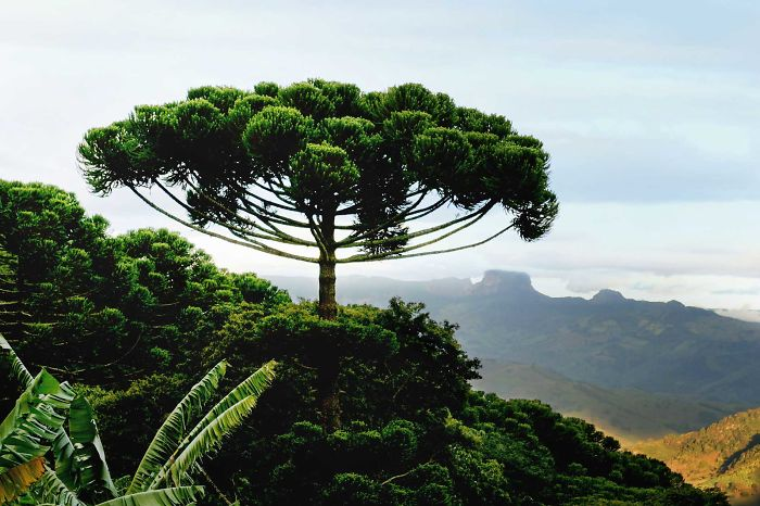 Araucaria In South Chile