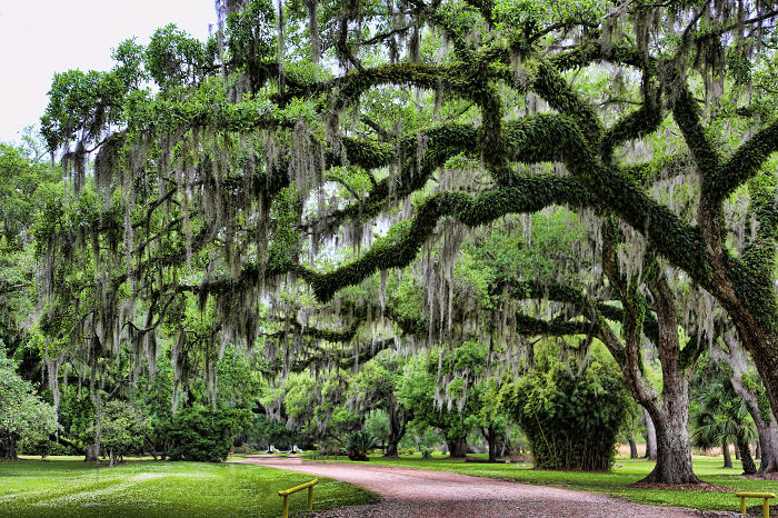 Moss Trees Of Avery Island  Lousiana