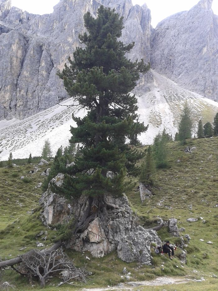 Zirbelkiefer (pinus Cembra), Dolomites, South Tyrol, Italy