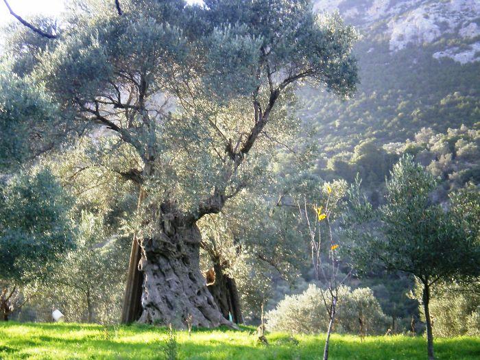 Greece Olive Tree In Lesvos-mytilini Island