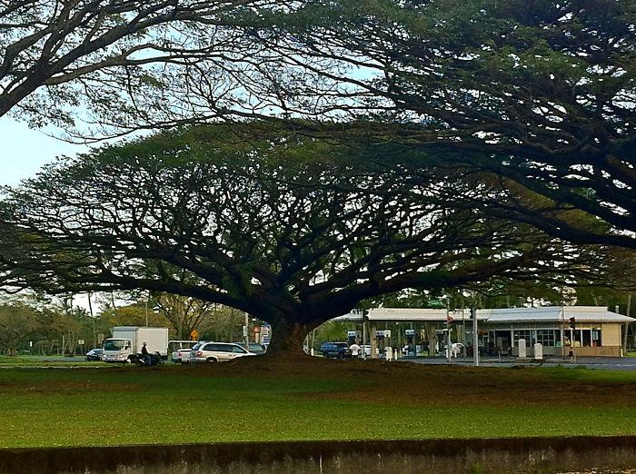 Monkey Pod Tree Along Beach Drive In Hilo, Hawaii