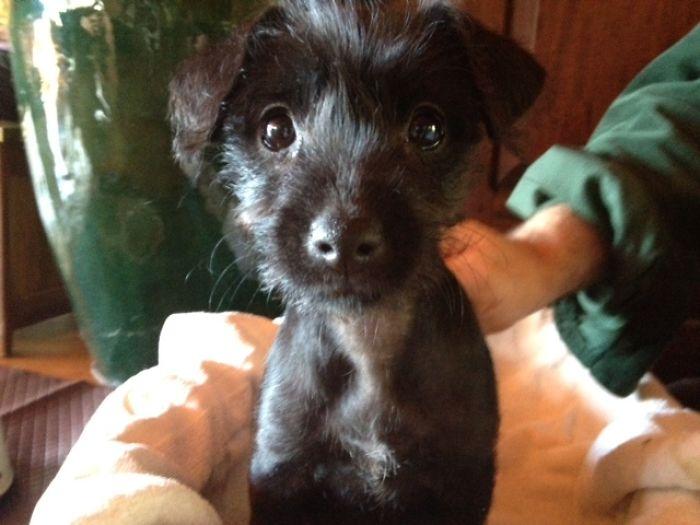 Miniature Fox Terrier X Toy Poodle (foodle)
