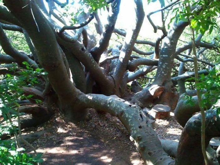 Centuries Old Tree In Stellenbosch Botanical Garden, South Africa